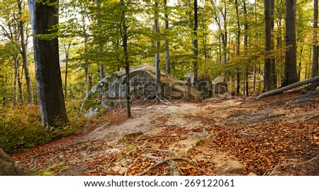 trunks of beech trees in autumn. Near the trees are large stones. On the ground, the roots of the trees can be seen. - stock photo