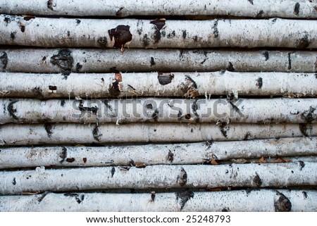 trunks of birch - stock photo