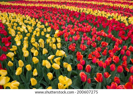 Tulips at Keukenhof ,Netherlands - stock photo