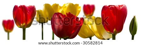 Tulips collage. For a wall poster 36*10 inch. High contrast. 300dpi, original full size 11025x3150.