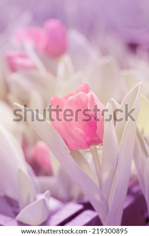 Tulips  in soft color on pastel tones and vintage colors and blur style for background.