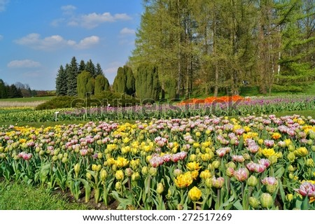 tulips on the pond, spring - stock photo
