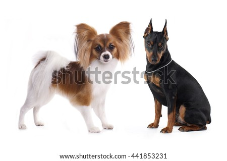 tvo dogs,  Miniature Pinscher, Papillon - stock photo