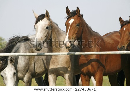 Two arabian youngsters looking over corral gate at summertime - stock photo