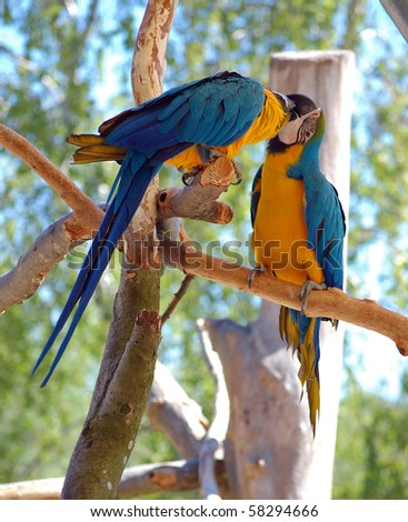 Two Blue-and-Yellow Macaw (parrots)