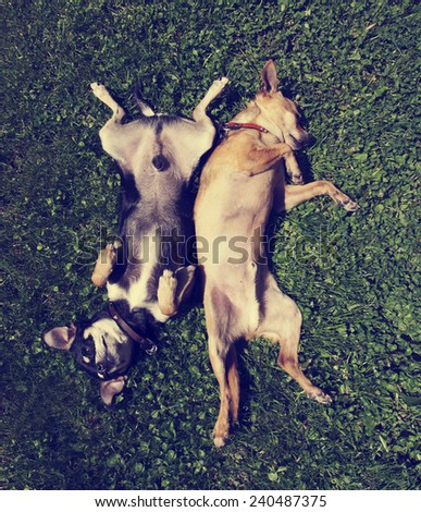 two chihuahuas rolling in the grass done with a vintage retro instagram filter  - stock photo