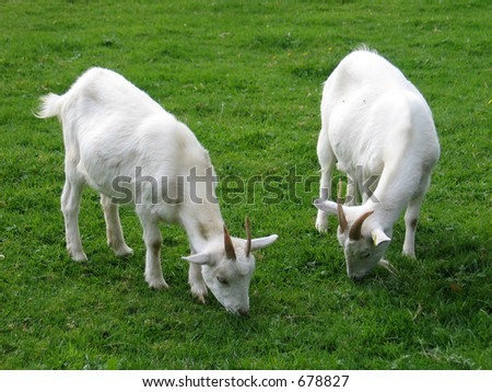 Two goats - stock photo