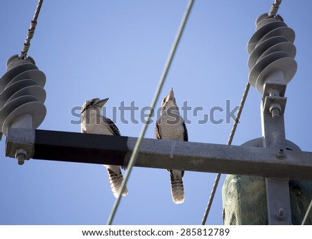 Two juvenile   Kookaburras (genus Dacelo) or Laughing Jackasses   terrestrial tree kingfishers native to Australia  perched on a suburban power pole   enjoy the late afternoon winter sunshine. - stock photo