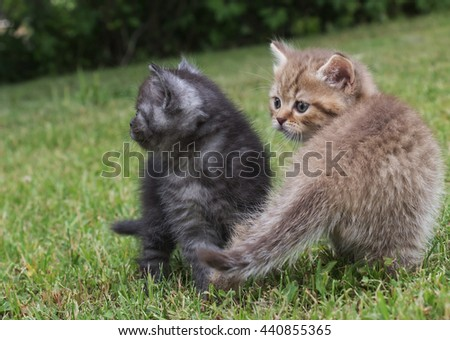 Two kitten British goes for a walk on a grass