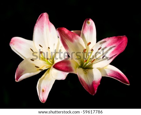 two lilies on black - stock photo