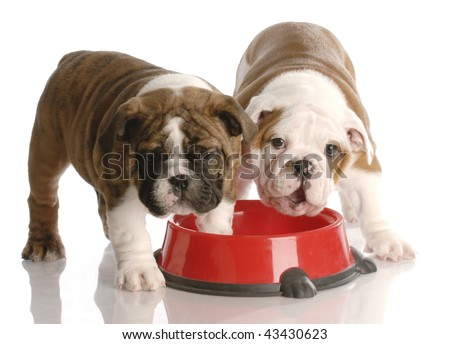 two nine week old english bulldogs puppies and a red dog food dish - stock photo