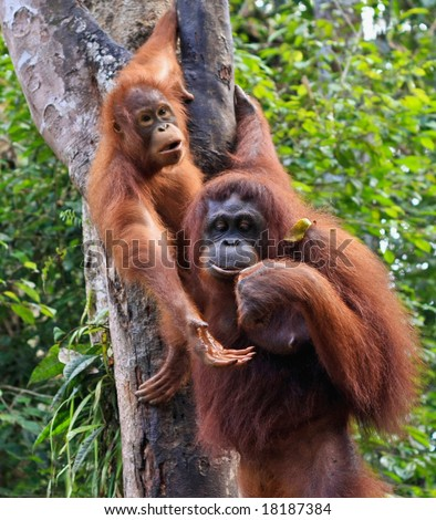 two  orangutan   in sarawak (borneo ) - stock photo