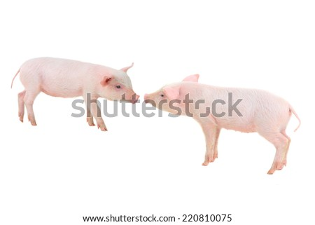 two pigs on a white background. studio