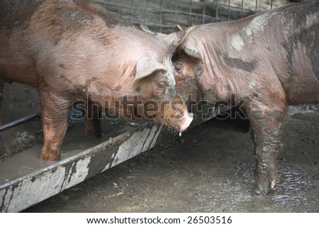 two playing piglets   /  domestic animal /  livestock /  pigsty - stock photo