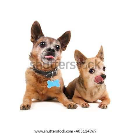 two small chihuahua dogs laying down and pouting with their tongues out isolated on a white background  - stock photo