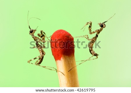 Two small mantises close-up on match