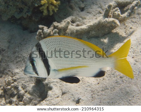 Twobar seabream (doublebar bream) tropical sea fish at the coral reef - stock photo