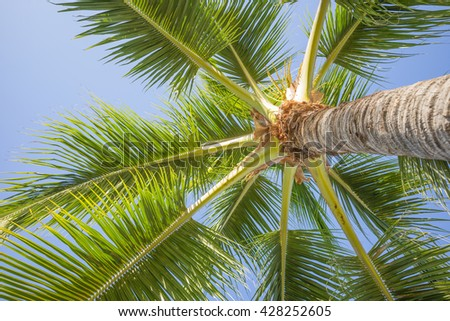 Upward view of a Waikiki Palm Tree. - stock photo