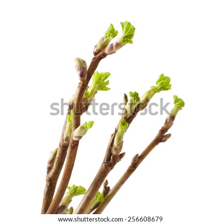 ?urrant twig with sprouts on white background - stock photo