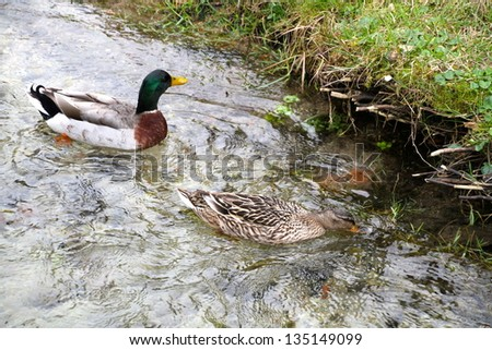 Usual male wild  duck green head over transparent water - stock photo