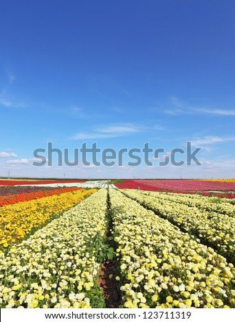 Vast fields of white flowers of buttercups. Magic spring. Flowers are grown for export. - stock photo