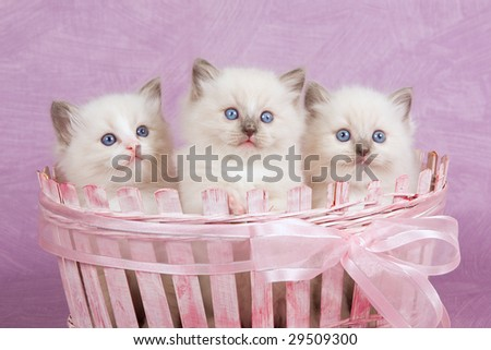 3 very cute Ragdoll kittens sitting inside pink gift basket with lace ribbon bow - stock photo