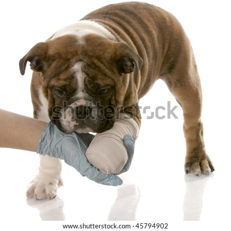 veterinarian hand holding wounded paw of english bulldog puppy - stock photo