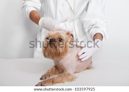 Veterinary doctor of doing an injection of dog  breed Griffon Bruxellois