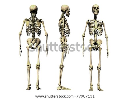 3 views of a male skeleton isolated on a white background