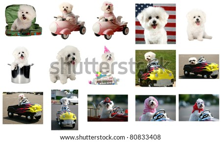 15 views of Fifi the Bichon Frise. All images are 800 pixels each at the long end. The perfect image for all Fifi's friends and fans around the world. She may be gone but she is not forgotten. - stock photo