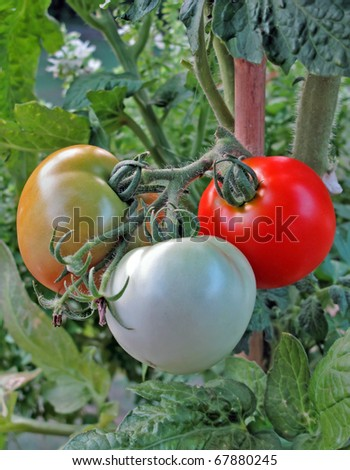 Vine Tomatoes in three stages of ripening. - stock photo