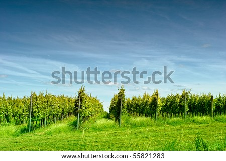 vineyard in summer against blue sky - stock photo