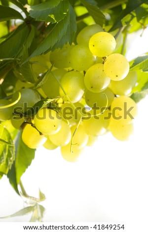 vineyard  isolated on white background  - stock photo