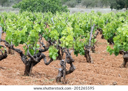 Vineyards Ibiza island Spain - stock photo