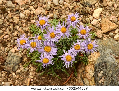 violet asters growing on granite in the james peak wilderness area,  colorado     - stock photo
