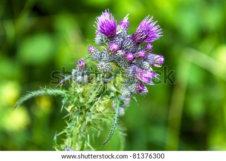 Violet blossom of a thistle (Onopordum acanthium) - stock photo