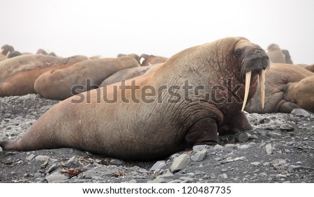 Walrus family - stock photo