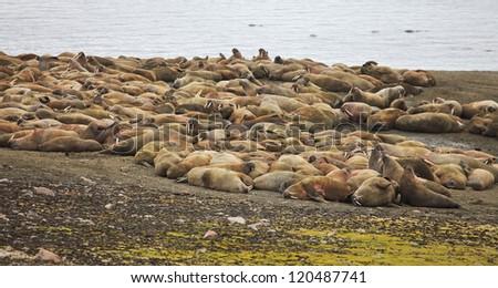 Walrus family - stock photo