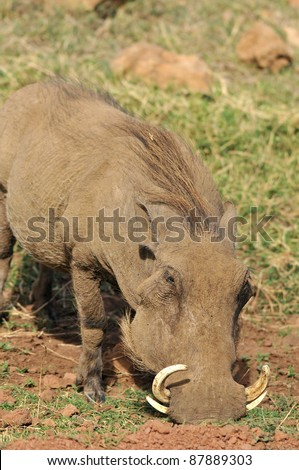 Warthog or Common Warthog (Phacochoerus africanus) is a wild member of the pig family that lives in grassland, savanna, and woodland in Sub-Saharan Africa - stock photo