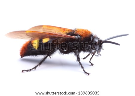 Wasp (Scolia hirta) isolated on white - stock photo