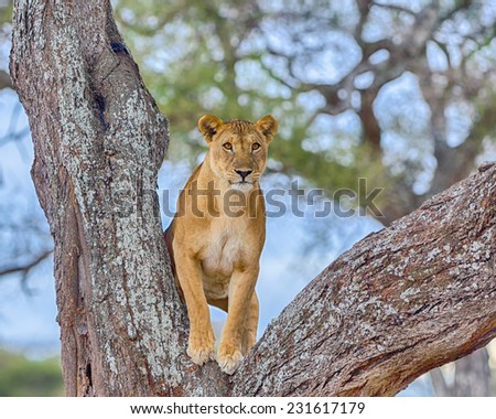 """Watchful"": A female lion standing in the crook of a tree, Tarangire National Park, Manyara, Tanzania, Africa - stock photo"