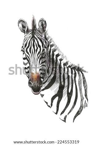 Watercolor zebra isolated on white background - stock photo