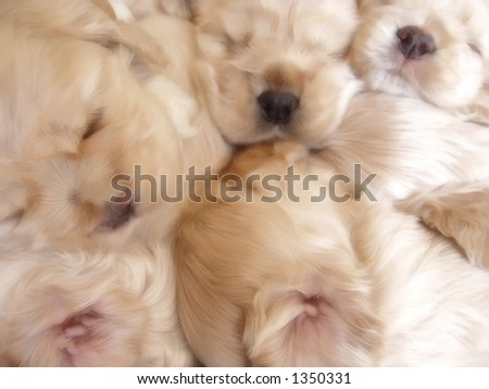 4 week old american cocker spaniel puppies sleeping in a pile - stock photo