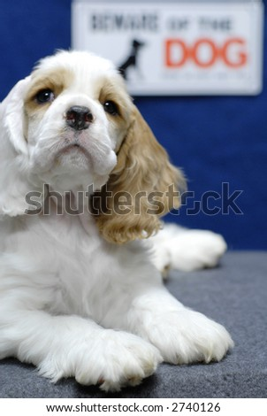 "9 week old American Cocker Spaniel puppy with ""Beware of Dog"" sign in background"