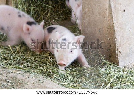 1 week old baby piglet - stock photo