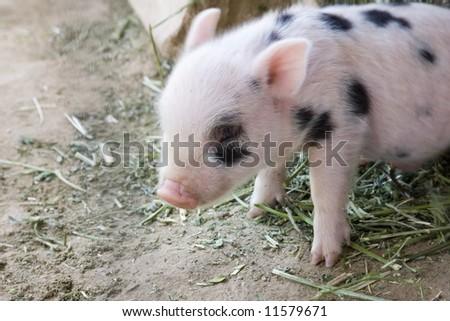 1 week old baby piglet - stock photo