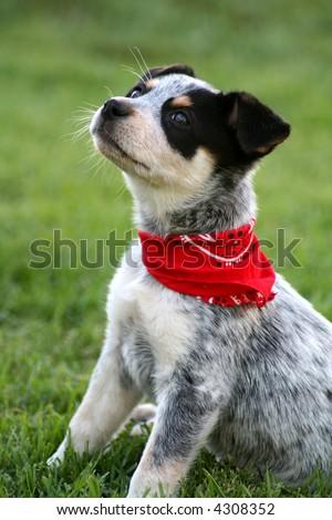 6 week old Blue Heeler puppy dog - stock photo