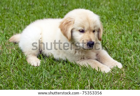 6 Week old Golden Retriever puppy laying in the Grass - stock photo