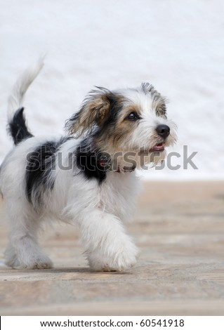 8 week old Jack Russell Puppy Cross walking - stock photo