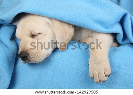 8 week old labrador puppy sleeping on a blue blanket - stock photo